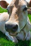 Mucca della Jersey che si trova nell'erba Fotografie Stock Libere da Diritti