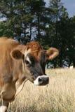 Mucca della Jersey su un'azienda agricola in capo orientale, Sudafrica Immagine Stock