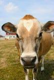 Mucca della Jersey in un pascolo Fotografia Stock