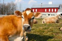 Mucca della Jersey in un pascolo Immagini Stock