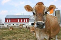 Mucca della Jersey in un pascolo Immagini Stock Libere da Diritti
