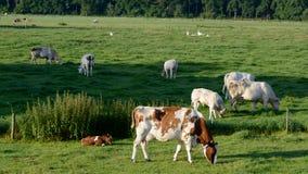 Mucca della madre con il suo vitello Immagine Stock