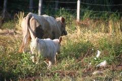 Mucca della madre e del vitello fotografia stock