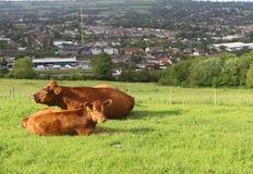 Mucca della madre e del vitello sul campo Immagini Stock