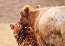Mucca della madre ed il suo vitello Immagini Stock Libere da Diritti