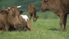 Mucca della madre ed il suo vitello Fotografia Stock Libera da Diritti