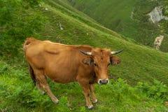 Mucca della montagna Immagine Stock
