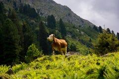 Mucca della montagna Fotografia Stock