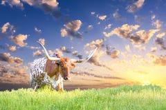 Mucca della mucca texana Fotografie Stock Libere da Diritti