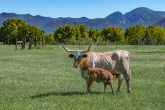 Mucca della mucca texana che alimenta il suo vitello fotografia stock libera da diritti