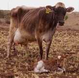 Mucca dello svizzero di Brown con il suo vitello neonato Fotografia Stock