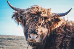 Mucca di Angus Highland Fotografia Stock
