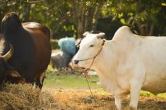 Mucca di bianco della Tailandia fotografia stock libera da diritti