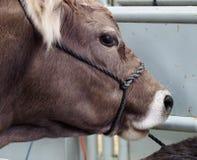 Mucca di Braunvieh dello svizzero Immagini Stock Libere da Diritti