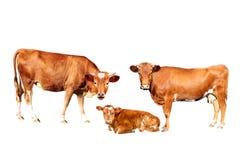 Mucca di Brown Immagine Stock