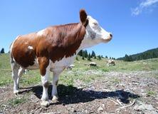 Mucca di Brown al pascolo dell'alta montagna Fotografie Stock