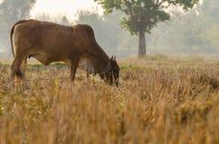Mucca di Brown che mangia erba secca nel campo Fuoco selettivo Fotografie Stock Libere da Diritti