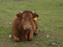 Mucca di Brown che risiede nell'erba verde fotografia stock