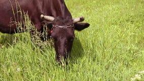 Mucca di Brown con i corni che mangiano erba su un prato verde un giorno soleggiato stock footage