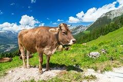 Mucca di Brown nel paesaggio della montagna Fotografia Stock Libera da Diritti