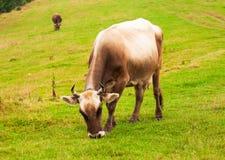 Mucca di Brown sul campo verde Immagine Stock Libera da Diritti