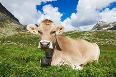 Mucca di Brown sul pascolo dell'erba verde Immagine Stock Libera da Diritti