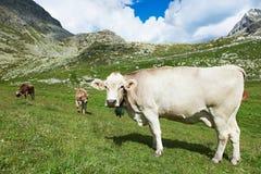 Mucca di Brown sul pascolo dell'erba verde Fotografia Stock Libera da Diritti