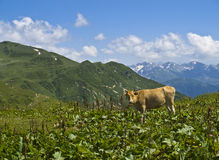 Mucca di Brown sul prato della montagna fotografie stock