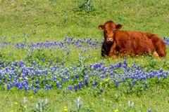 Mucca di Brown in un campo dei Wildflowers del Bluebonnet, il Texas Immagine Stock Libera da Diritti