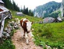 Mucca di camminata nel villaggio in Slovenia immagini stock