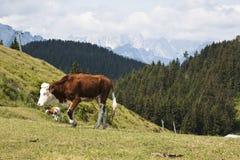 Mucca di camminata in paese austriaco Fotografie Stock Libere da Diritti