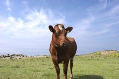 Mucca di estate (colore marrone) Immagini Stock Libere da Diritti