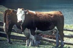 Mucca di Hereford nel campo immagine stock
