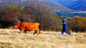 Mucca di inseguimento dell'agricoltore del Sud con il bastone Fotografie Stock Libere da Diritti
