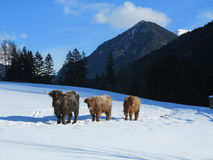 Mucca di inverno Fotografia Stock Libera da Diritti