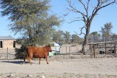 Mucca di Kalahari Immagini Stock Libere da Diritti