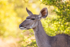 Mucca di Kudu Fotografia Stock Libera da Diritti