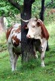 Mucca di latte Fotografia Stock