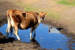 Mucca di latte della Jersey Fotografia Stock