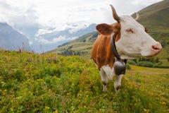 Mucca di latte organica in prato alpino Fotografia Stock