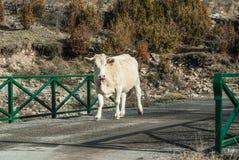 Mucca di Milck con il pascolo sul gra verde delle montagne alpine della Svizzera Fotografie Stock Libere da Diritti