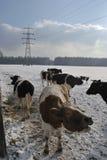 Mucca di Mooing nella neve Fotografia Stock Libera da Diritti