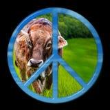 Mucca di pace immagine stock libera da diritti