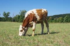 Mucca di Pasturage. Immagine Stock