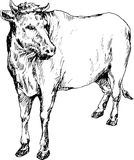 Mucca disegnata a mano Immagine Stock