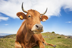Mucca divertente Fotografie Stock Libere da Diritti
