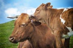 Mucca divertente fotografia stock libera da diritti