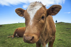Mucca divertente Immagini Stock