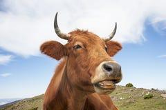 Mucca divertente immagine stock