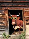 Mucca divertente con i vetri dell'occhio in una porta di granaio della mucca Immagini Stock Libere da Diritti